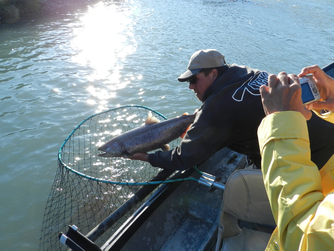 Fishing guide releases King Salmon in Alaska.