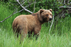 Brown bear photo by lodge guest