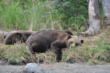 Sleeping bears, Kenai Peninsula