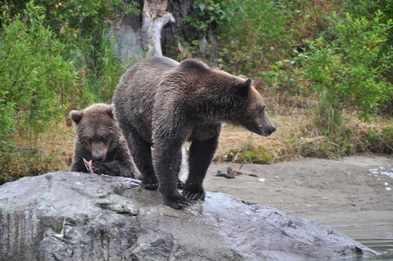 Brown bears Kenai Peninsula, Alaska
